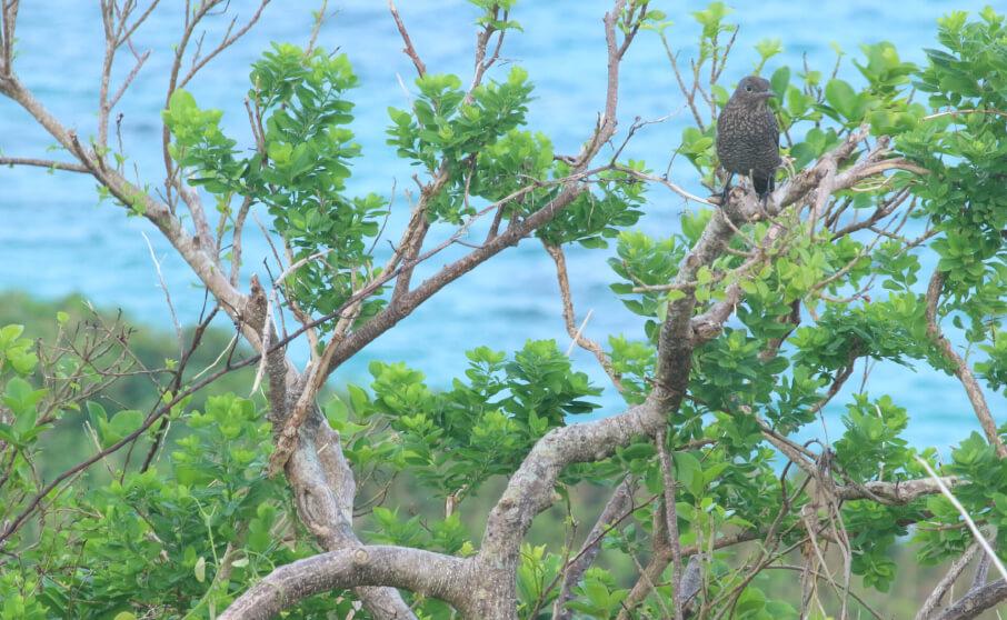 宮古島の野鳥【写真あり】